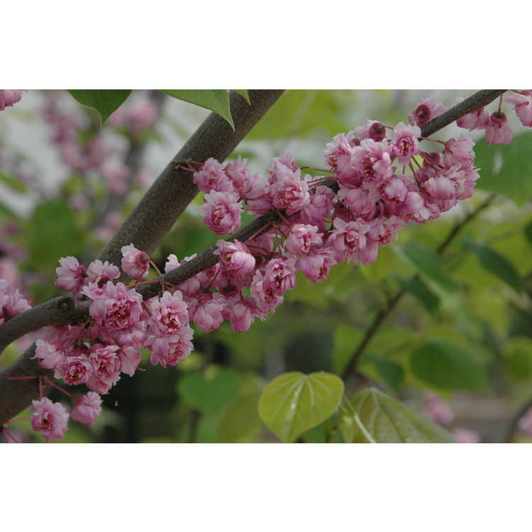 Cercis canadensis Flame