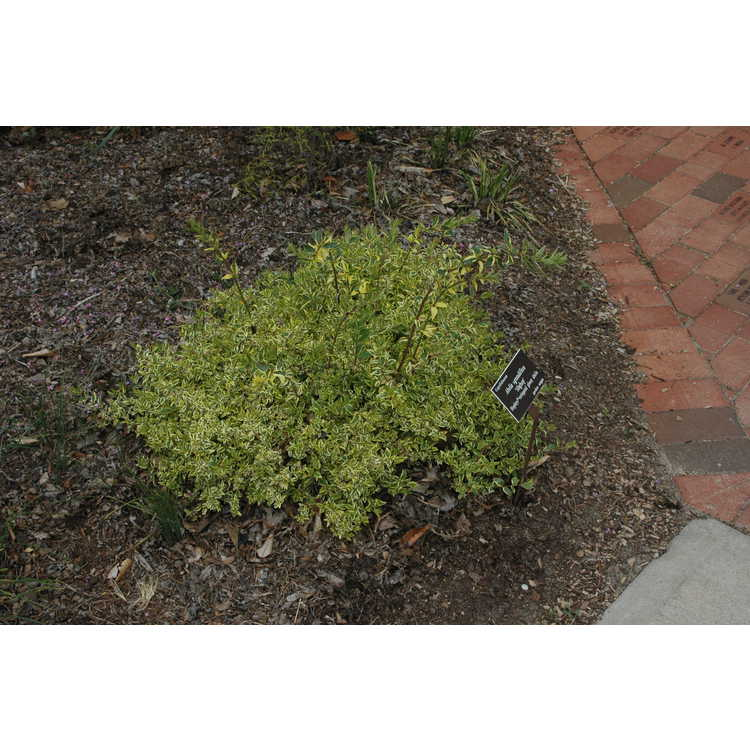 Abelia ×grandiflora 'Hopleys' - Miss Lemon variegated glossy abelia
