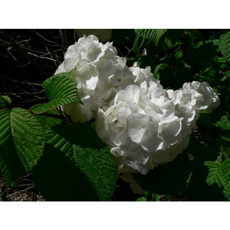 Viburnum plicatum 'Popcorn'