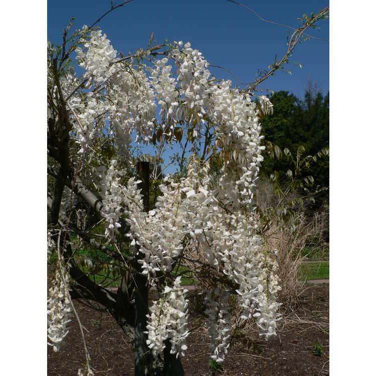 Wisteria sinensis 'Jako' - white-flowered Chinese wisteria