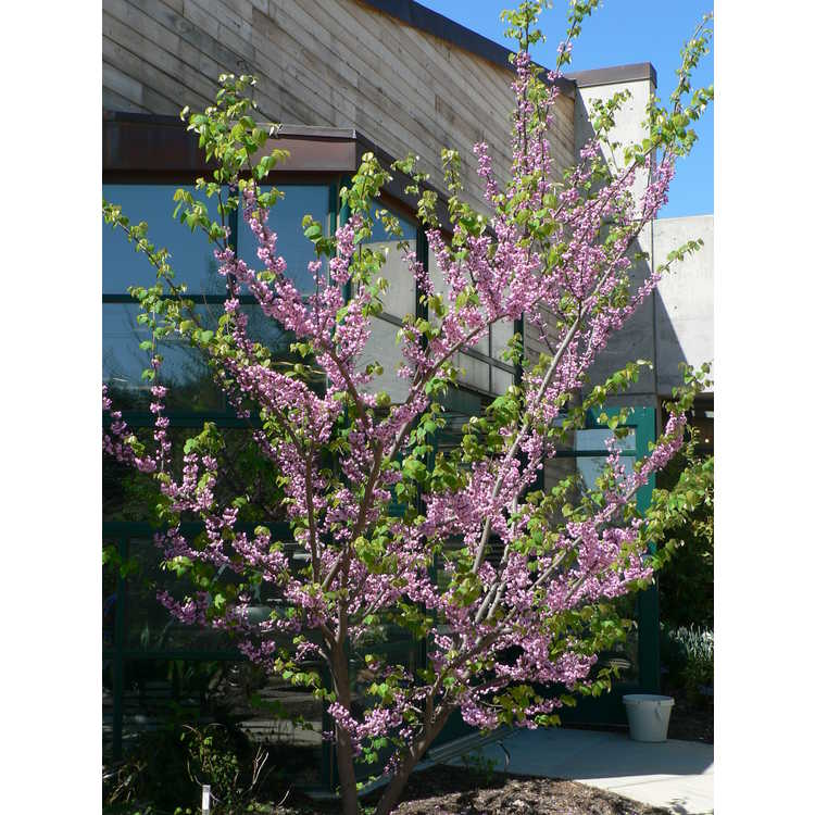 Cercis canadensis 'Flame' - double-flowered eastern redbud