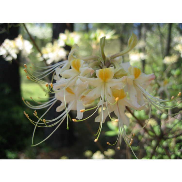 Rhododendron austrinum 'Alba'