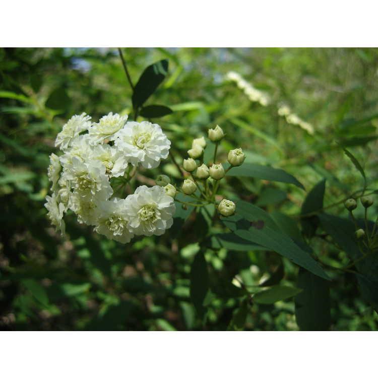 Spiraea cantoniensis - Reeves spirea