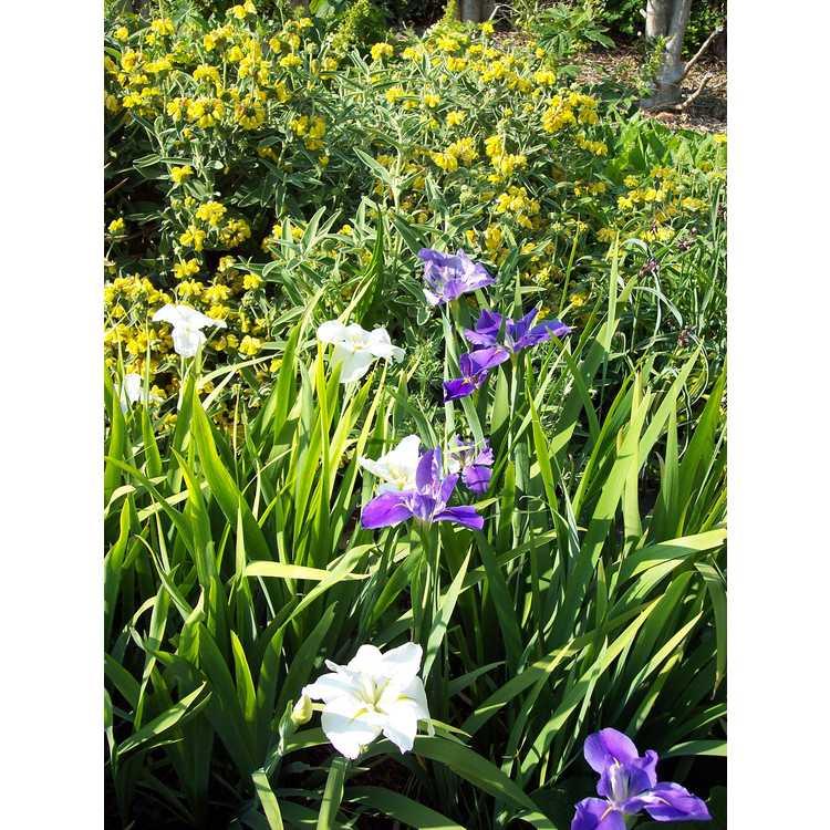 Iris 'C'est Magnifique'