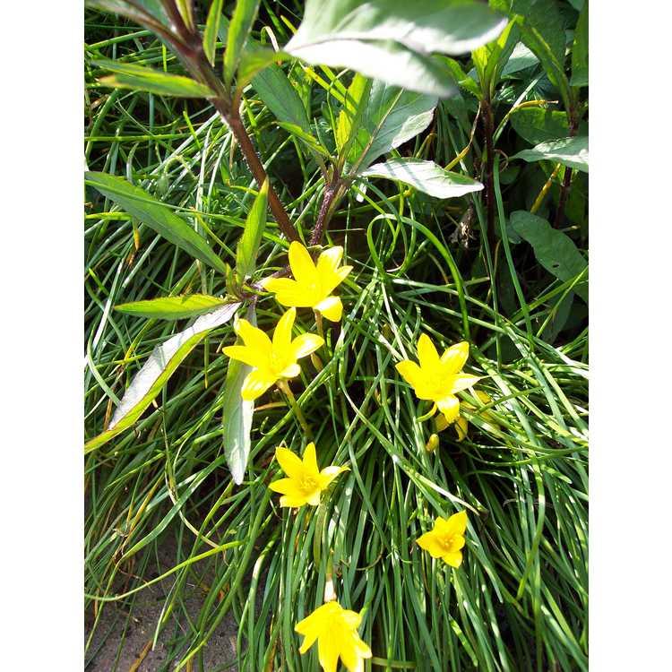 Zephyranthes flavissima - yellow rain-lily