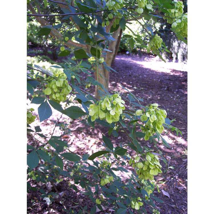 Ptelea trifoliata subsp. polyadenia