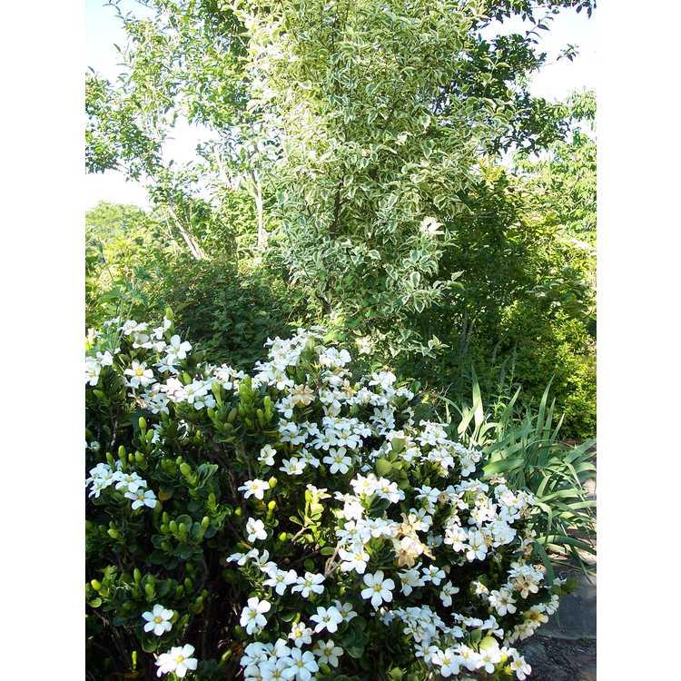 Quercus robur Argenteomarginata