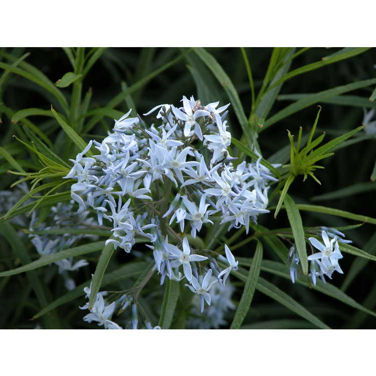 Amsonia Tabernaemontana Salicifolia Amsonia Tabernaemontana Var Salicifolia 002 Nbg
