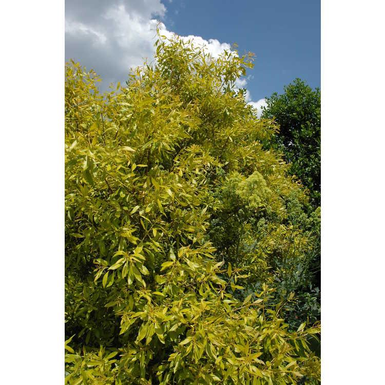 Morella cerifera 'Soleil' - golden wax myrtle
