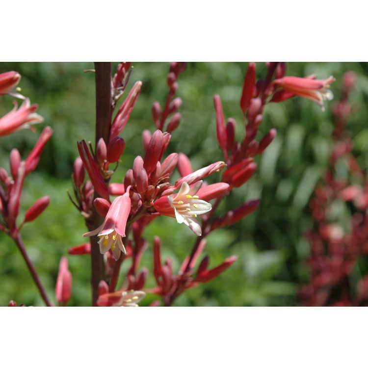 Hesperaloe campanulata