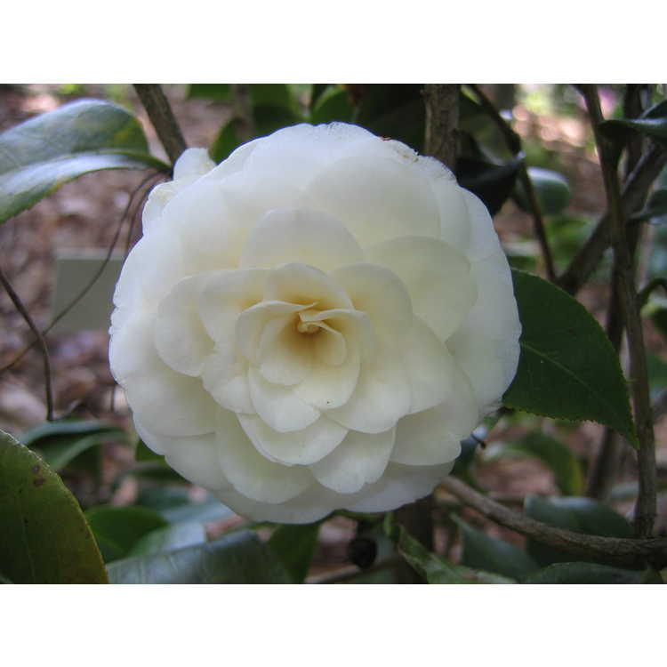 Camellia japonica 'White By The Gate'