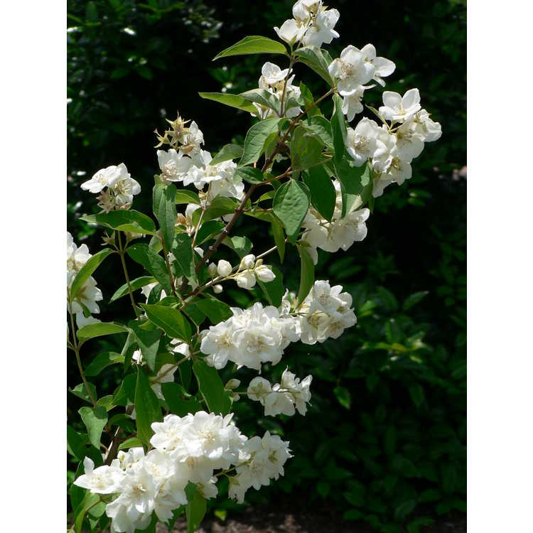 Philadelphus 'Bouquet Blanc' - Lemoine hybrid mock-orange