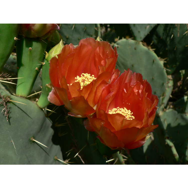 Opuntia ×alta - tall prickly-pear