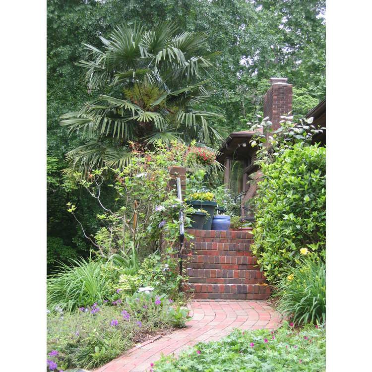Trachycarpus fortunei - windmill palm