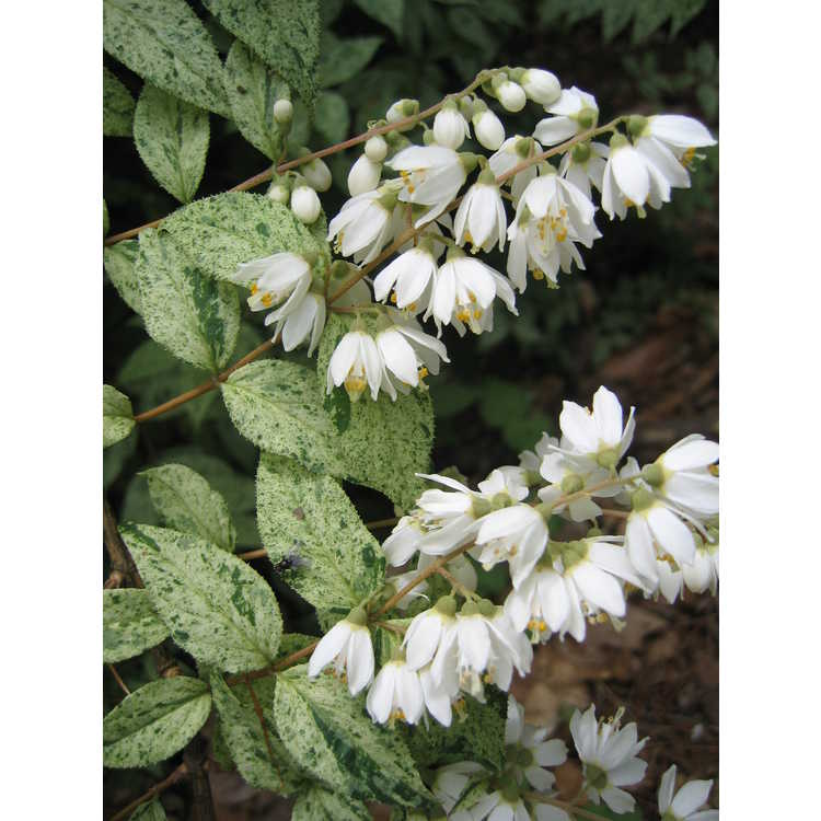 Deutzia crenata 'Summer Snow'