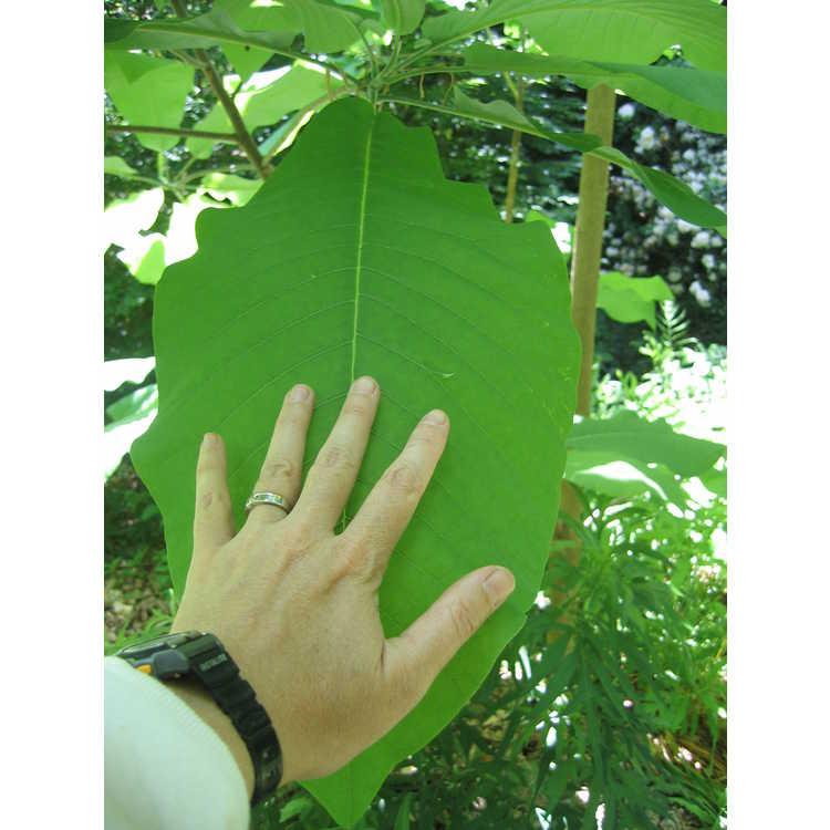 Magnolia macrophylla - bigleaf magnolia