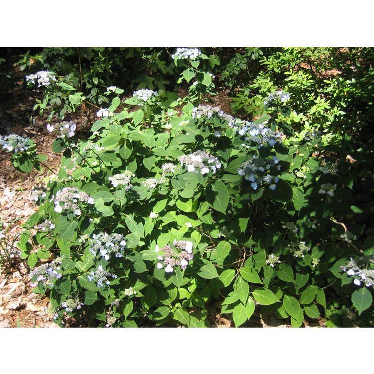 Hydrangea - hydrangea