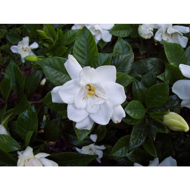 Gardenia jasminoides Chuck Hayes