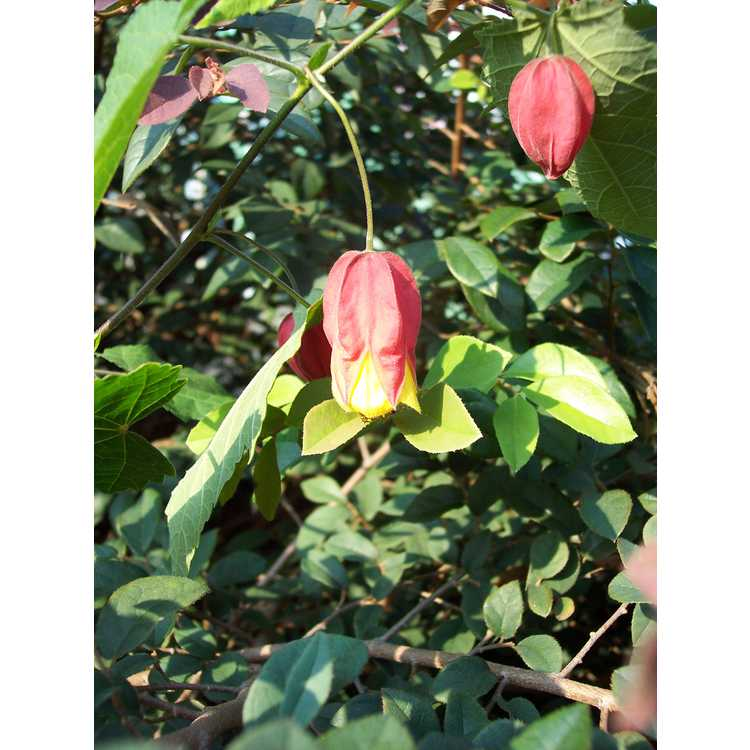 Abutilon megapotamicum 'Little Imp' - flowering maple