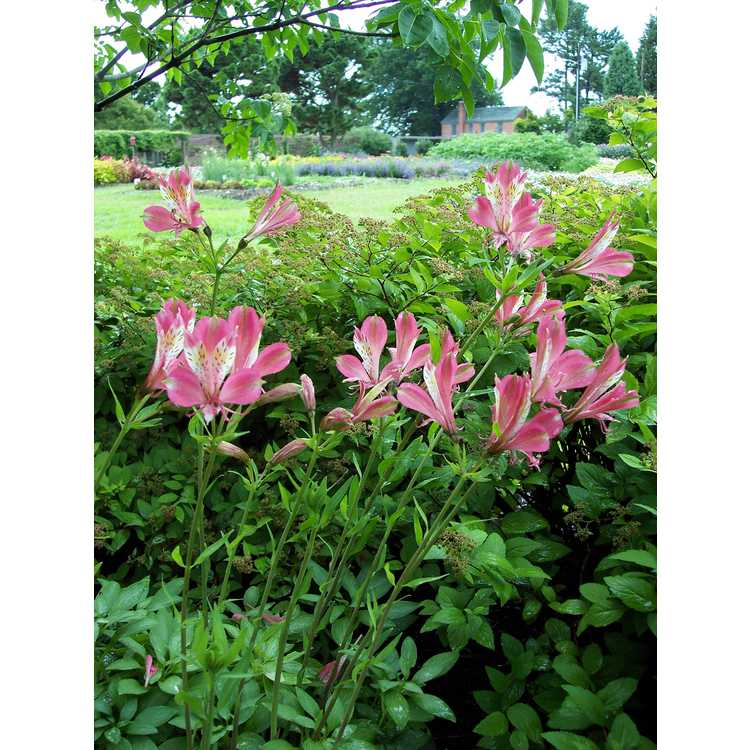 Alstroemeria 'Freedom' - red Peruvian lily