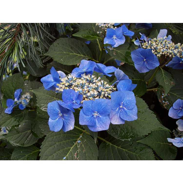 Hydrangea macrophylla 'Blaumeise' - French hydrangea