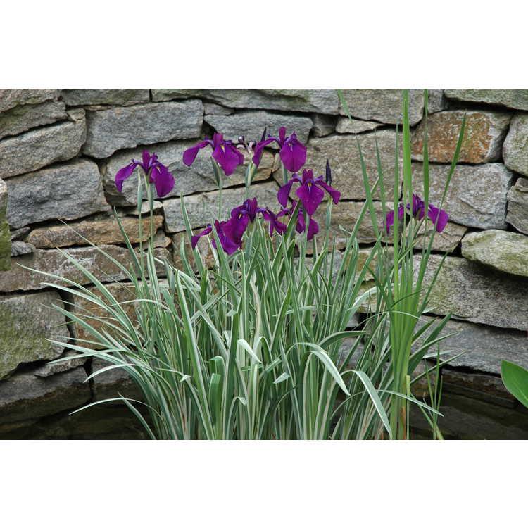 Iris ensata 'Variegata' - variegated Japanese iris