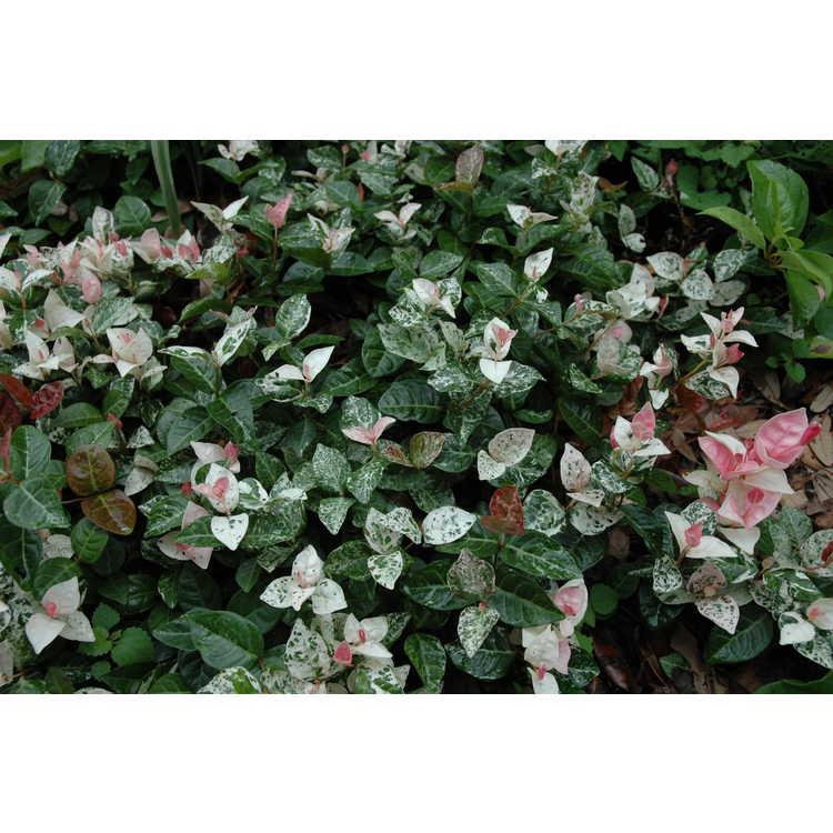 Trachelospermum asiaticum 'Hatsuyuki' - variegated Asiatic jessamine