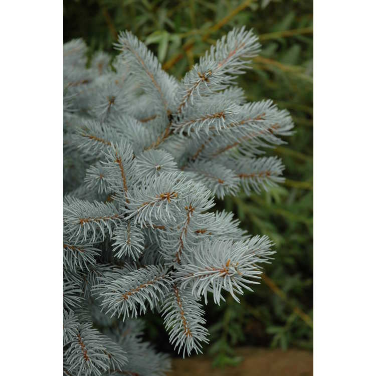 Picea pungens 'Hoopsii' - Colorado blue spruce