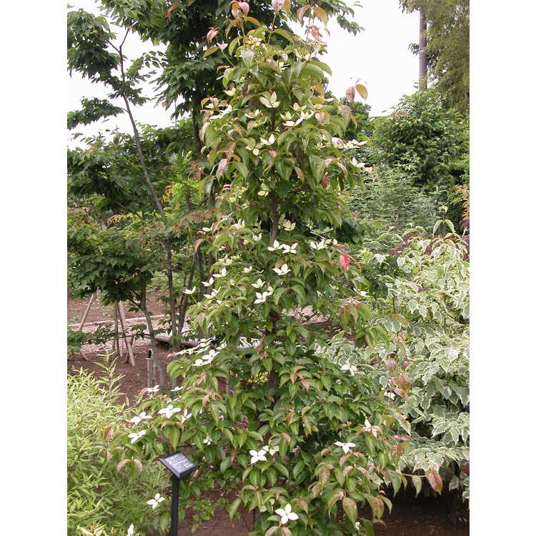 Cornus hongkongensis subsp. melanotricha
