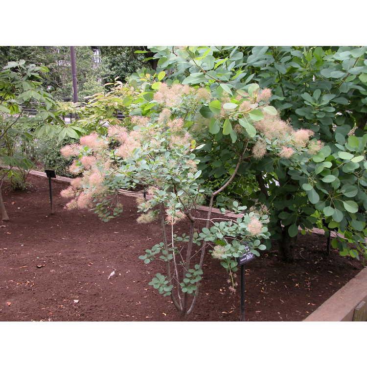 Cotinus coggygria 'Young Lady' - smokebush