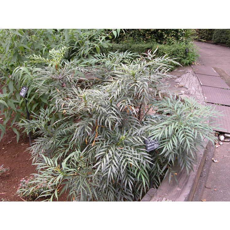 Mahonia eurybracteata 'Narihira'