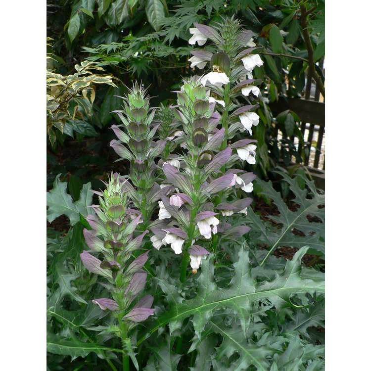 Acanthus spinosus - bear's breeches
