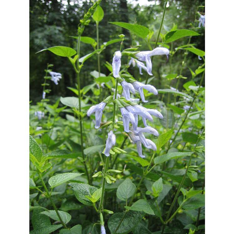 Salvia coerulea 'Argentine Skies' - blue anise sage