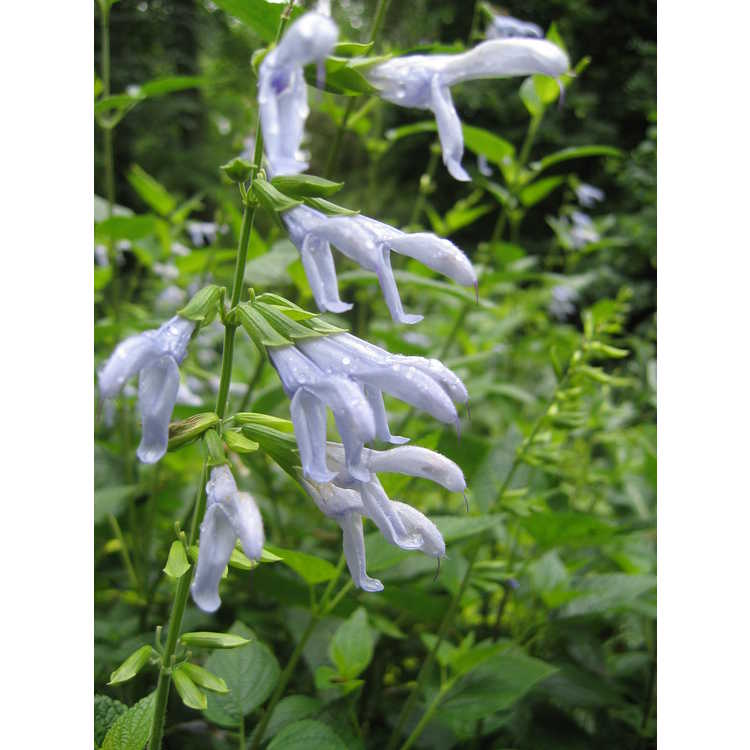 Salvia coerulea 'Argentine Skies'