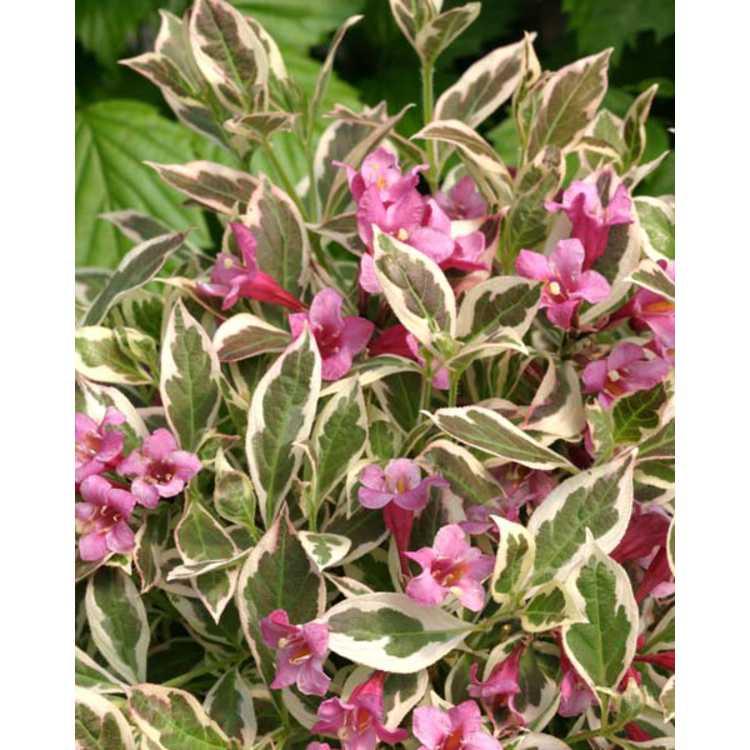 Weigela florida 'Verweig' - My Monet variegated dwarf flowering weigela