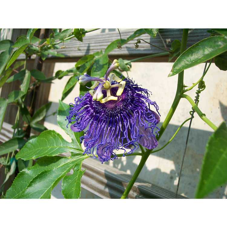 Passiflora 'Inspiration' - purple passion flower