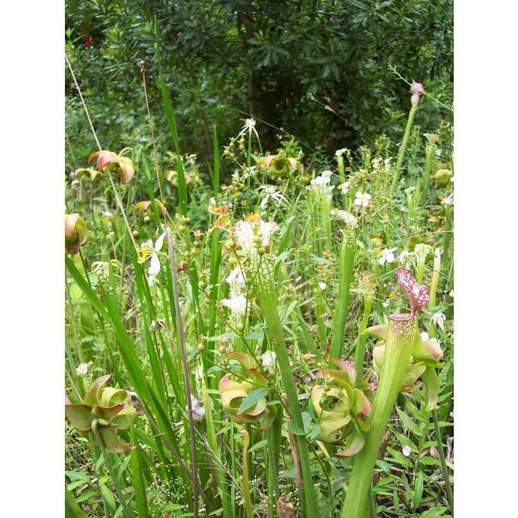 Sarracenia leucophylla - pitcher plant