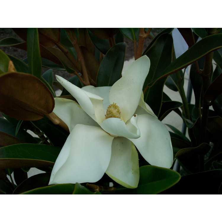 Magnolia grandiflora Tmgh Alta