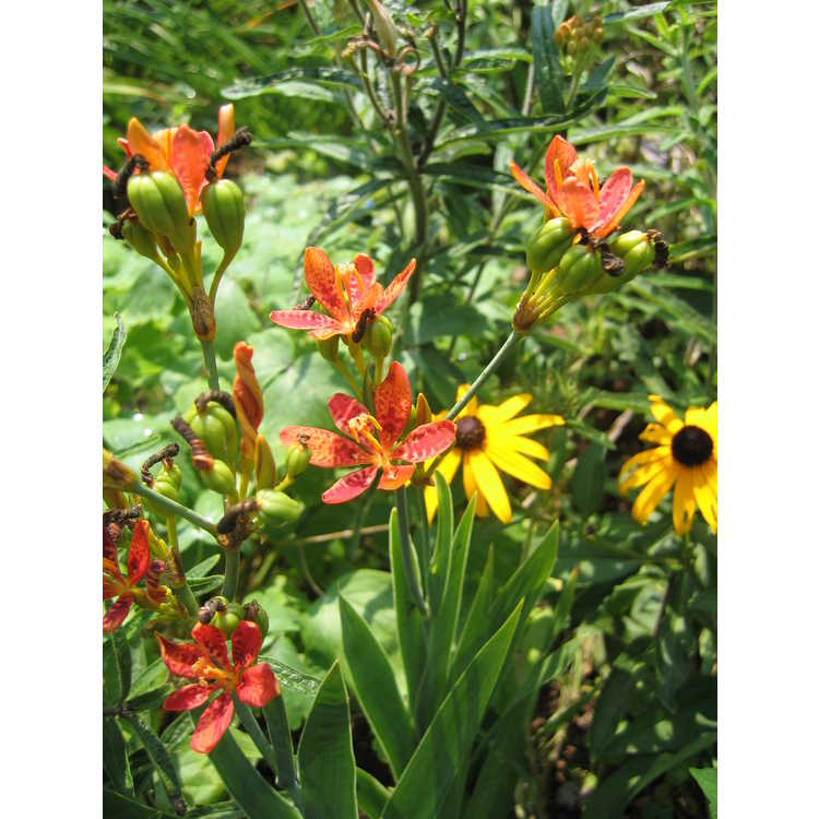 Belamcanda chinensis - blackberry lily