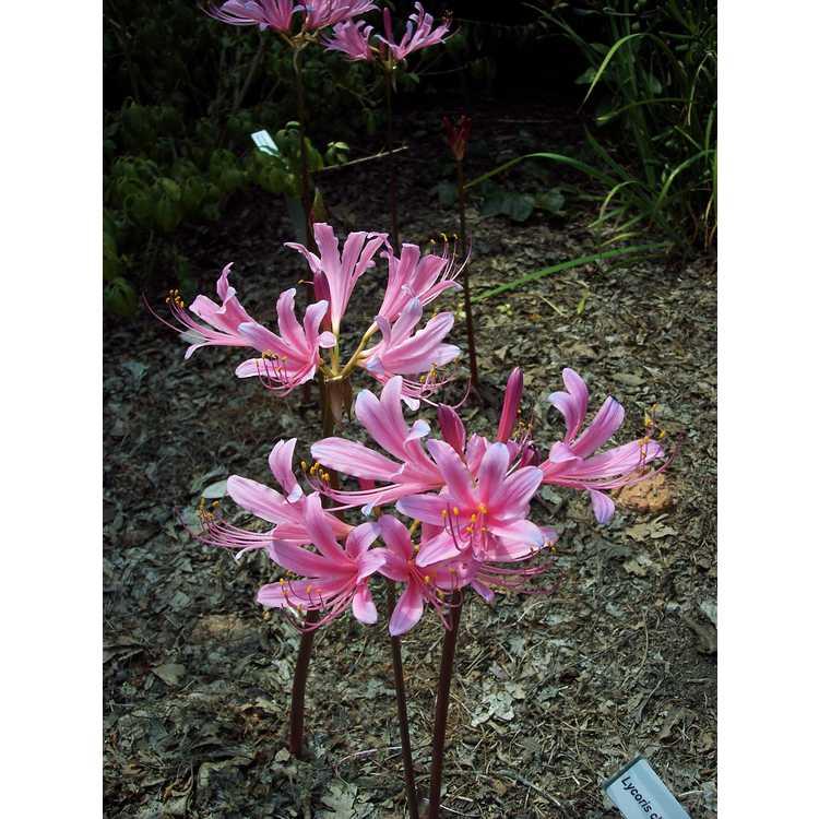 Lycoris ×haywardii - electric surprise-lily