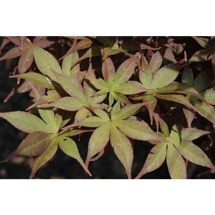 Acer palmatum 'Nuresagi'