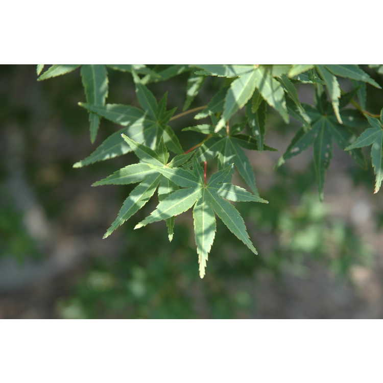 Acer palmatum 'Nishiki gawa' - pine-bark Japanese maple