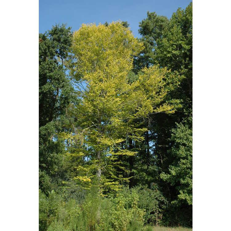 Fagus grandifolia - American beech