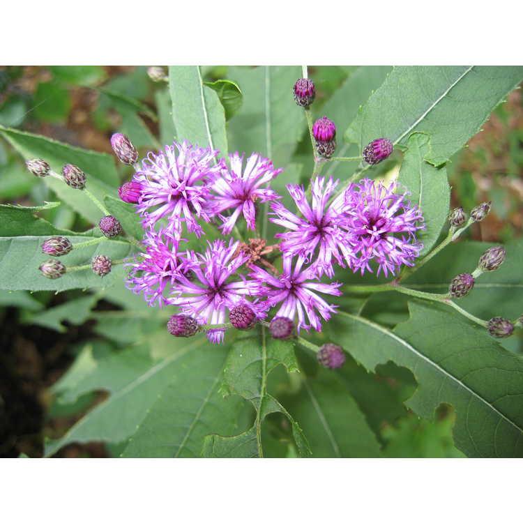 Vernonia - ironweed