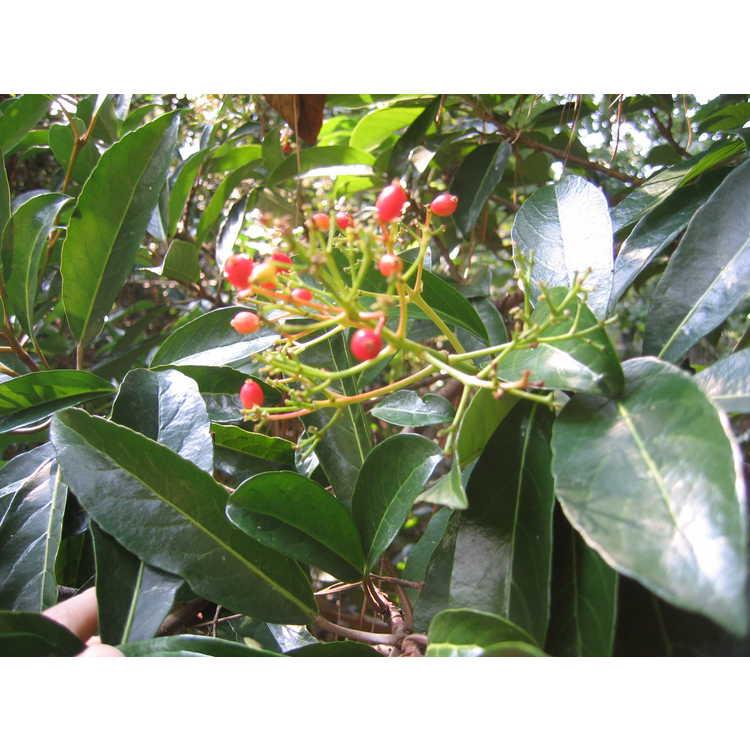 Viburnum odoratissimum var. awabuki 'Chindo'