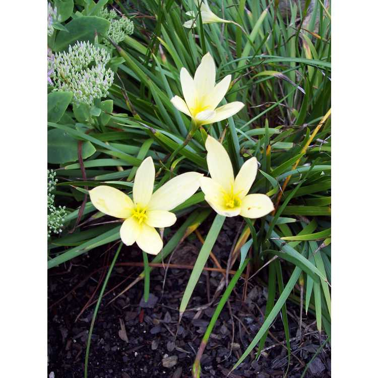 Zephyranthes reginae