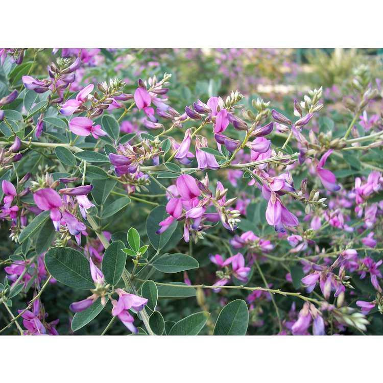 Lespedeza thunbergii 'Pink Cascade'