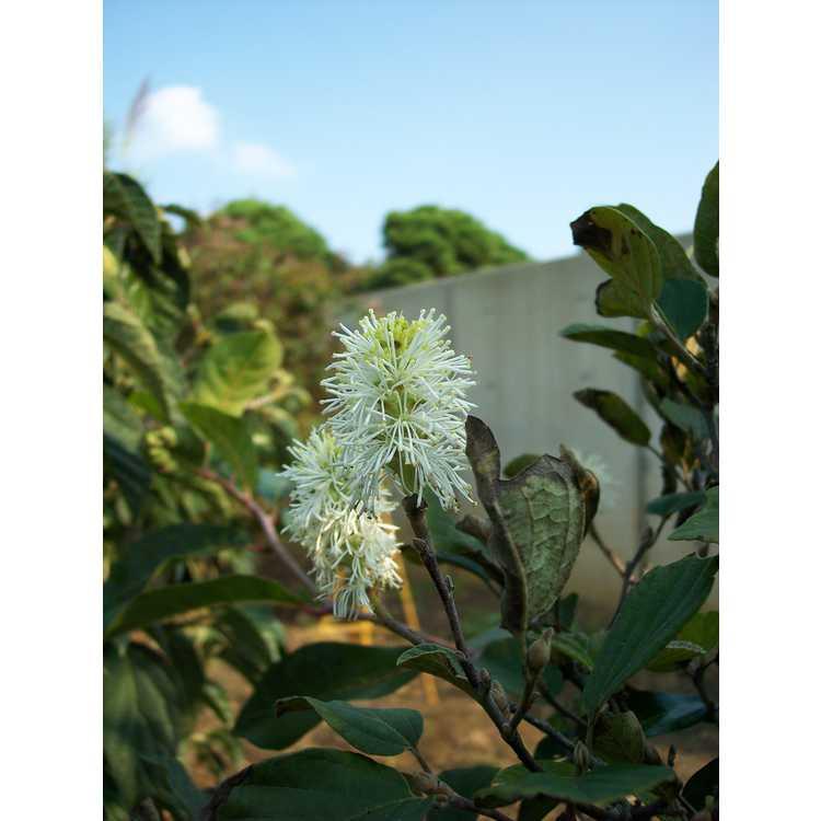Fothergilla gardenii Chattanooga