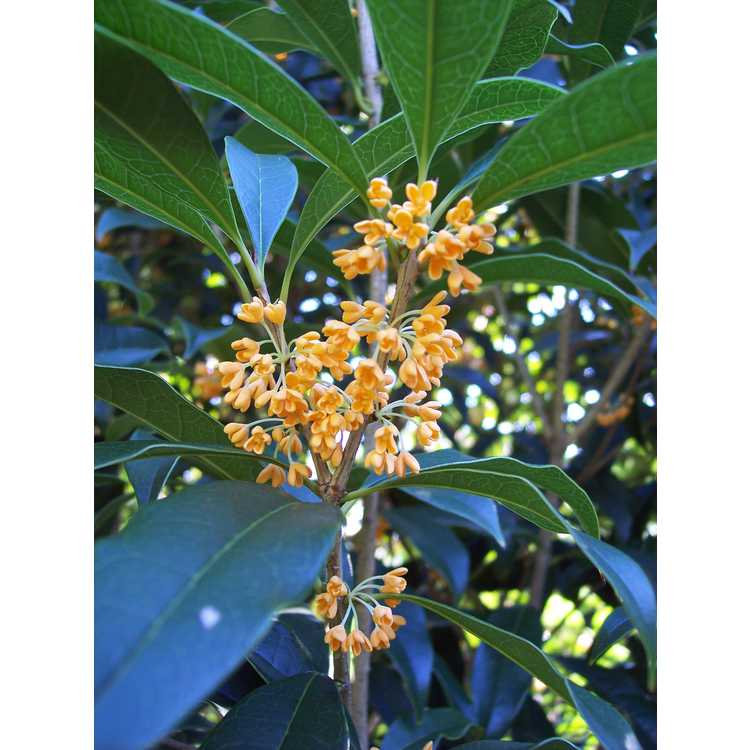 Jc raulston arboretum our plants search results for Osmanthus fragrans aurantiacus