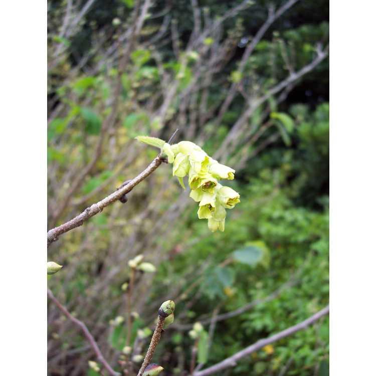 Corylopsis sinensis calvescens veitchiana